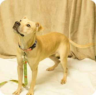 Labrador Retriever/Terrier (Unknown Type, Medium) Mix Dog for adoption in South Haven, Michigan - Zoe