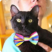 Domestic Shorthair Cat for adoption in Studio City, California - Sid: dog & cat buddy
