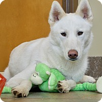 Siberian Husky Dog for adoption in Vancouver, Washington - Buddy