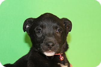Border Collie/Collie Mix Puppy for adoption in Broomfield, Colorado - Rhoda