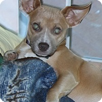 Adopt A Pet :: Bambi - Marlton, NJ