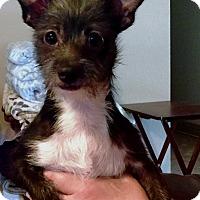 Adopt A Pet :: Harley - Rancho Cucamonga, CA