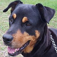 Rottweiler Dog for adoption in Alachua, Georgia - Sarabella