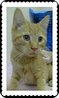 Domestic Shorthair Kitten for adoption in Trevose, Pennsylvania - Johnson