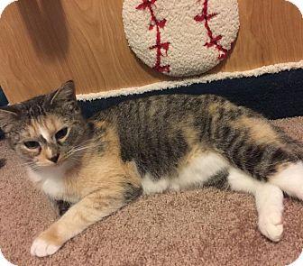 American Shorthair Cat for adoption in New York, New York - Sabrina
