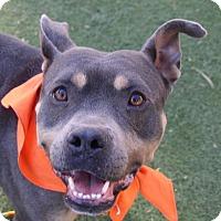 Adopt A Pet :: *BELLATRIX - Las Vegas, NV