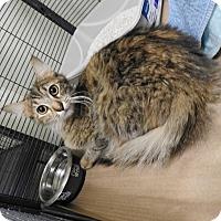 Adopt A Pet :: Sapphire - Gainesville, FL