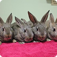 Adopt A Pet :: Four Bunnies - Paris, ME