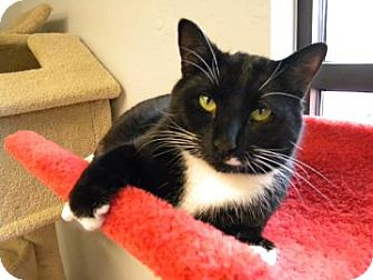 Domestic Shorthair Cat for adoption in Gainesville, Florida - Franklin