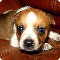 Adopt A Pet :: Calvin - Austin, TX