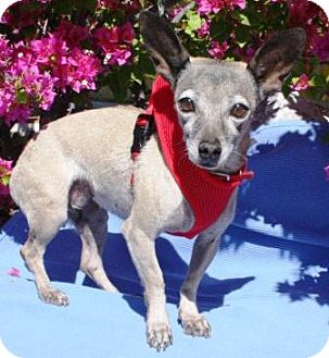 Chihuahua/Dachshund Mix Dog for adoption in Gilbert, Arizona - Hope