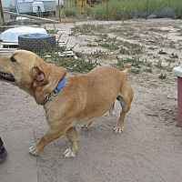 Beagle/American Pit Bull Terrier Mix Dog for adoption in Pie Town, New Mexico - Hank