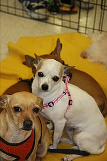 Chihuahua/Jack Russell Terrier Mix Dog for adoption in Gilbert, Arizona - Pearl