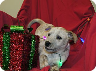 Australian Cattle Dog/Blue Heeler Mix Puppy for adoption in Saratoga Springs, New York - (P) Rusty ~ ADOPTED!