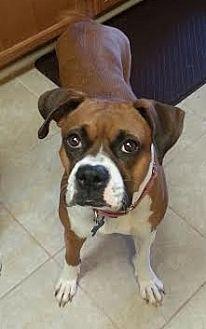 Boxer Dog for adoption in Houston, Texas - Gretta Grace