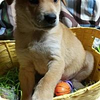 Adopt A Pet :: Sausage - East Hartford, CT