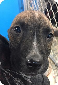 Boxer/Labrador Retriever Mix Puppy for adoption in Pompton Lakes, New Jersey - Doris Pup dark brindle