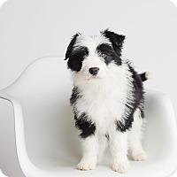 Adopt A Pet :: Tyrion - Ogden, UT