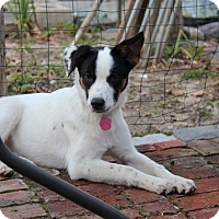 Adopt A Pet :: Clara - Shrewsbury, NJ