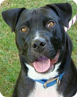 American Pit Bull Terrier Mix Dog for adoption in Red Bluff, California - Hecate