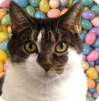 Domestic Shorthair Cat for adoption in Albany, New York - Tinkerbell