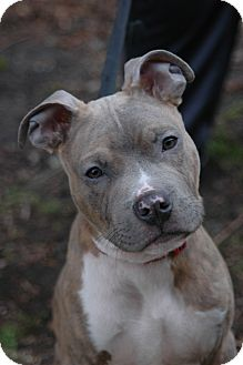 American Pit Bull Terrier Mix Puppy for adoption in Chicago, Illinois - Bacon