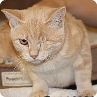 Domestic Shorthair Cat for adoption in Savannah, Missouri - Tink