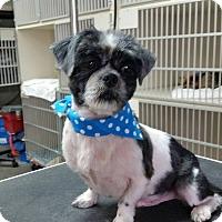 Adopt A Pet :: LUKE SKYWALKER - Boca Raton, FL