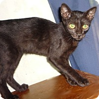 Adopt A Pet :: Panther - Dallas, TX