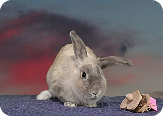Lop-Eared Mix for adoption in Marietta, Georgia - Chardonnay
