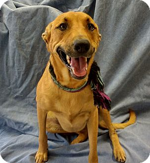 Labrador Retriever/German Shepherd Dog Mix Dog for adoption in Cannelton, Indiana - Nova