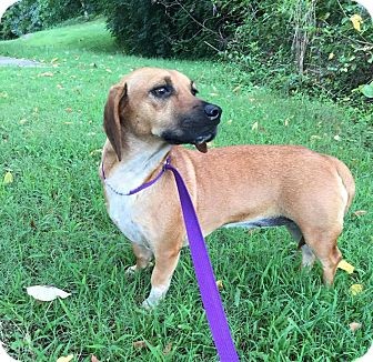 Beagle/Dachshund Mix Dog for adoption in Portland, Maine - Bessie (Reduced Fee)