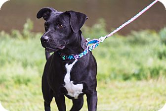 Labrador Retriever/Pit Bull Terrier Mix Dog for adoption in Homer, New York - Sweetie Pie
