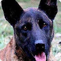 Adopt A Pet :: NEMO(DUTCH SHEPHERD-SO SMART!! - Wakefield, RI