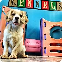 Adopt A Pet :: Chef - Scottsdale, AZ