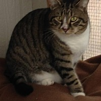 Polydactyl/Hemingway Cat for adoption in MECHANICSVILLE, Virginia - BEAU