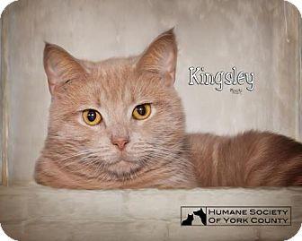 Domestic Mediumhair Cat for adoption in Fort Mill, South Carolina - Kingley 5516