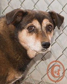 Corgi/Beagle Mix Dog for adoption in Evergreen, Colorado - Tinkerbell goes w/Nugget - courtesy listing
