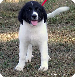 Bullmastiff/Great Pyrenees Mix Puppy for adoption in parissipany, New Jersey - Jill/ADOPTED