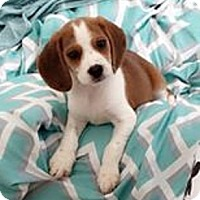 Adopt A Pet :: Peppermint - Fairview Heights, IL