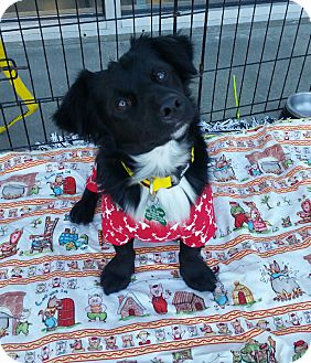 Dachshund/Spaniel (Unknown Type) Mix Dog for adoption in La Verne, California - D'Angelo