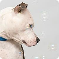 Adopt A Pet :: Frankie - Westfield, NY