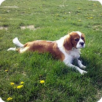 Cavalier King Charles Spaniel Dog for adoption in Parker, Colorado - Andy H 17062