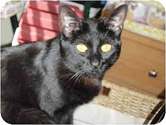 Domestic Shorthair Cat for adoption in Pasadena, California - Cosette