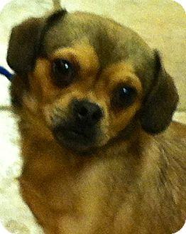 Pug/Chihuahua Mix Dog for adoption in Oswego, Illinois - Stewart Little