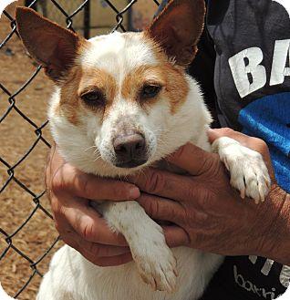 Corgi Mix Dog for adoption in Houston, Texas - Parker