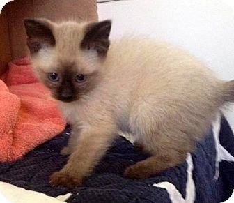 Siamese Kitten for adoption in Troy, Michigan - Tuiasosopo