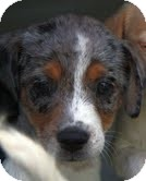 Beagle/Cocker Spaniel Mix Puppy for adoption in Allentown, Pennsylvania - Olivia