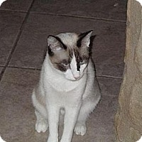 Snowshoe Cat for adoption in Austin, Texas - Bell