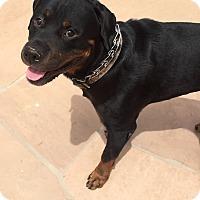 Adopt A Pet :: Rommel - Gilbert, AZ